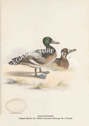 SCAUP POCHARD - Fuligula Marila, No.1 Male in Immature Plumage, No. 2 Female